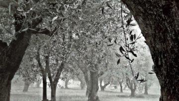 Una storia di olivi e di carta